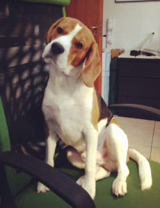 Mr. Dalì the beagle